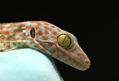 Fermez-vous vers le haut du gecko Photographie stock libre de droits