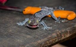Fermez-vous vers le haut du gecko muant outre de la vieille peau sur une vieille table en bois images stock
