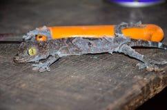 Fermez-vous vers le haut du gecko muant outre de la vieille peau sur une vieille table en bois photo stock