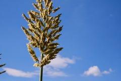 Fermez-vous vers le haut du grand maïs de fleur Image libre de droits