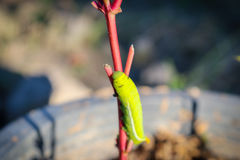 Fermez-vous vers le haut du grand ver vert sur le tronc de la fleur Photographie stock libre de droits