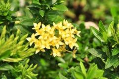 Fleurs jaunes d'ixora Photo stock