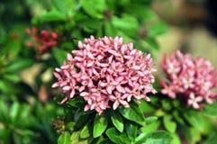 Fleurs roses d'ixora Photos libres de droits