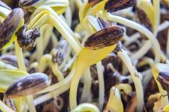 Fermez-vous vers le haut du jeune élevage de pousses de tournesol Image stock