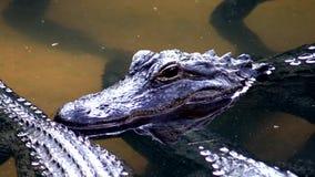 Fermez-vous vers le haut du jeune alligator dans l'eau banque de vidéos