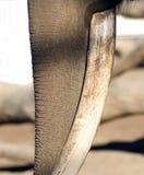 Fermez-vous vers le haut du joncteur réseau mâle et de la défense d'éléphant africain Photographie stock libre de droits
