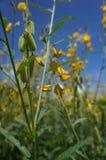 Juncea de Crotalaria Photographie stock libre de droits