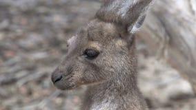 Fermez-vous vers le haut du kangourou de bébé en parc du cap le Grand National banque de vidéos