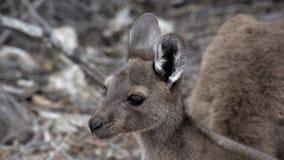 Fermez-vous vers le haut du kangourou de bébé regardant loin en parc du cap le Grand National banque de vidéos