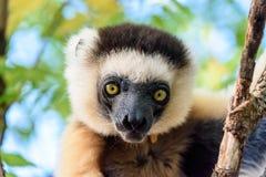 Fermez-vous vers le haut du lémur de Sifaka sur l'arbre au Madagascar Photographie stock