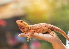 Fermez-vous vers le haut du lézard australien barbu de Pogona Vitticeps de dragon en main Photographie stock libre de droits