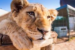 Fermez-vous vers le haut du lion de bébé de portrait Images libres de droits