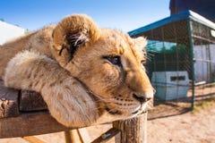 Fermez-vous vers le haut du lion de bébé de portrait Image libre de droits