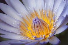 Fermez-vous vers le haut du lis d'eau violet Photographie stock