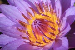 Fermez-vous vers le haut du lotus Photographie stock