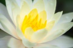 Fermez-vous vers le haut du lotus blanc Image libre de droits