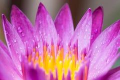 Fermez-vous vers le haut du lotus de pollen Image stock