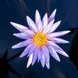 Fermez-vous vers le haut du lotus, fleur de nénuphar Images libres de droits