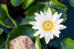 Fermez-vous vers le haut du lotus, fleur de nénuphar Photographie stock libre de droits