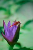 Fermez-vous vers le haut du lotus, fleur de nénuphar Image libre de droits