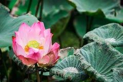 Fermez-vous vers le haut du lotus, fleur de nénuphar Photos libres de droits
