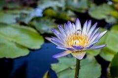 Fermez-vous vers le haut du lotus, fleur de nénuphar Photo stock