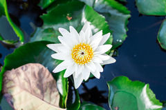 Fermez-vous vers le haut du lotus, fleur de nénuphar Image stock