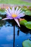 Fermez-vous vers le haut du lotus, fleur de nénuphar Images stock