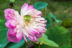 Fermez-vous vers le haut du lotus rose s'est fané Photos stock