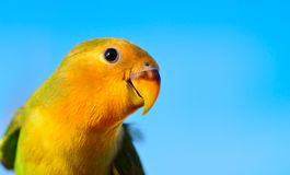 Fermez-vous vers le haut du lovebird vert-jaune fait face Photo stock