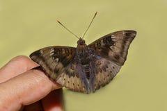 Fermez-vous vers le haut du mâle du papillon de baron de mangue sur le doigt Photographie stock libre de droits
