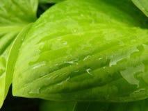 Fermez-vous vers le haut du macro détail de la feuille verte humide de Hosta Photos stock