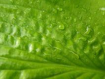 Fermez-vous vers le haut du macro détail de la feuille verte humide de Hosta Images libres de droits