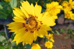 Fermez-vous vers le haut du macro de l'abeille de miel sur la fleur jaune lucrative avec les corrections rouges Photographie stock