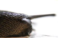 Fermez-vous vers le haut du macro et minimaliste portrait de l'escargot d'isolement sur le fond blanc photographie stock