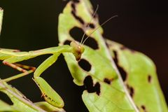 Fermez-vous vers le haut du macro ivrogne de la tête d'un cricket vert vibrant Foyer sélectif photographie stock