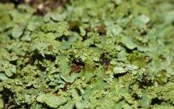 Fermez-vous vers le haut du macro tir du lichen vert - R-U image libre de droits