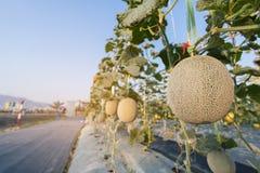 Fermez-vous vers le haut du melon s'élevant prêt pour la récolte à l'usine de champ photos libres de droits