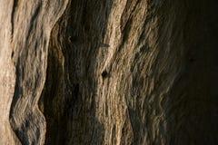 Fermez-vous vers le haut du modèle du tronc d'eucalyptus Photos libres de droits