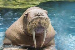 Fermez-vous vers le haut du morse en ivoire de visage en eau de mer profonde photographie stock