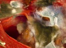 Fermez-vous vers le haut du moule s'élevant sur une graine de tomate Image libre de droits