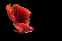Fermez-vous vers le haut du mouvement d'art des poissons de Betta photo libre de droits