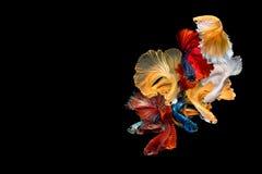 Fermez-vous vers le haut du mouvement d'art des poissons de Betta, poissons de combat siamois photographie stock libre de droits