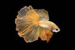 Fermez-vous vers le haut du mouvement d'art des poissons de Betta, poissons de combat siamois photo libre de droits