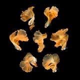 Fermez-vous vers le haut du mouvement d'art des poissons de Betta sur le fond noir photo libre de droits