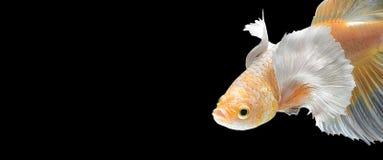 Fermez-vous vers le haut du mouvement d'art des poissons de combat siamois photos stock