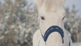 Fermez-vous vers le haut du museau adorable d'un cheval blanc se tenant sur un ranch de pays Les chevaux marchent dehors pendant  banque de vidéos