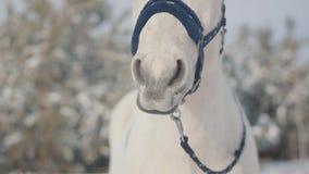 Fermez-vous vers le haut du museau adorable d'un cheval blanc sur un ranch de pays Les chevaux marchent dehors pendant l'hiver Co banque de vidéos