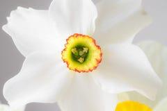 Fermez-vous vers le haut du narcisse blanc Photo libre de droits