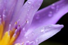 Fermez-vous vers le haut du pétale de lotus de tir Images stock